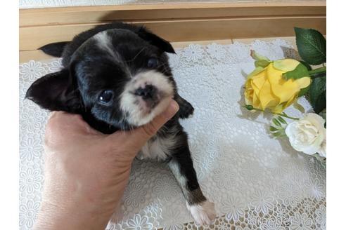 チワワ(ロング)の子犬(ID:1270611022)の2枚目の写真/更新日:2021-01-26