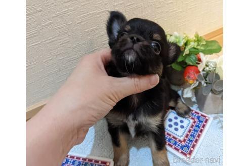 チワワ(ロング)の子犬(ID:1270611023)の2枚目の写真/更新日:2021-01-26
