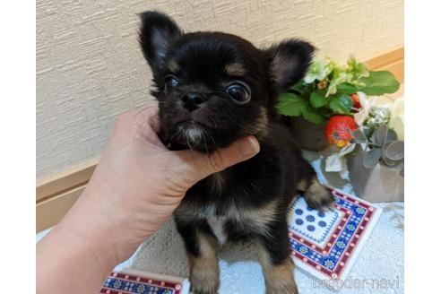 チワワ(ロング)の子犬(ID:1270611023)の3枚目の写真/更新日:2021-03-14