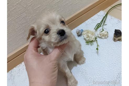 ミックスの子犬(ID:1270611025)の4枚目の写真/更新日:2021-01-30