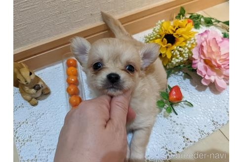 チワワ(ロング)の子犬(ID:1270611028)の1枚目の写真/更新日:2021-04-05