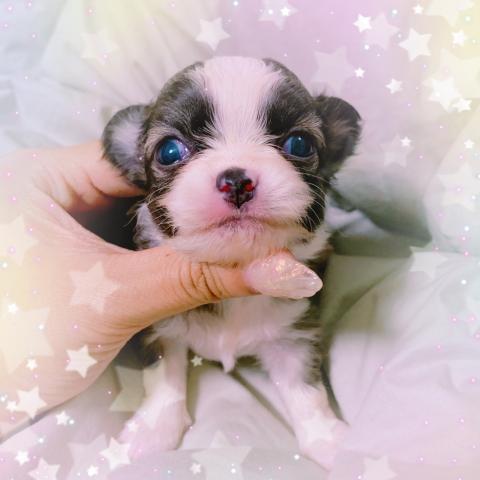 チワワ(ロング)の子犬(ID:1270911001)の1枚目の写真/更新日:2018-08-03