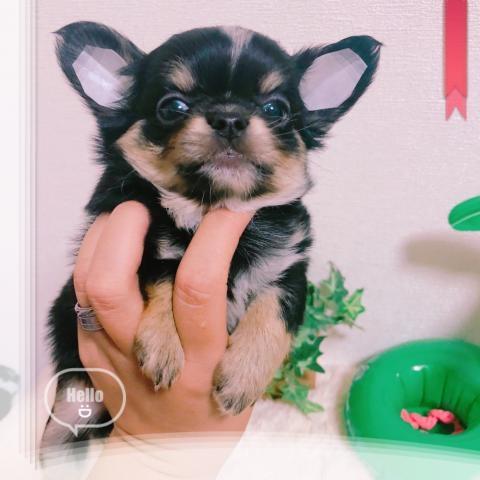 チワワ(ロング)の子犬(ID:1270911002)の1枚目の写真/更新日:2018-08-03