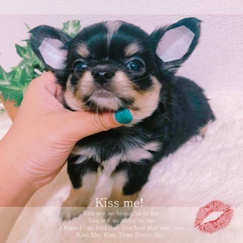 チワワ(ロング)の子犬(ID:1270911002)の2枚目の写真/更新日:2018-08-03