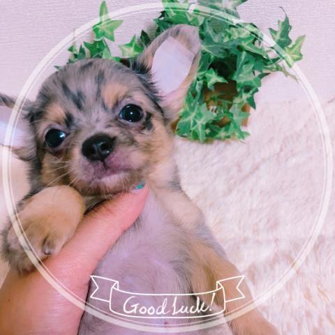 チワワ(ロング)の子犬(ID:1270911003)の1枚目の写真/更新日:2018-08-03