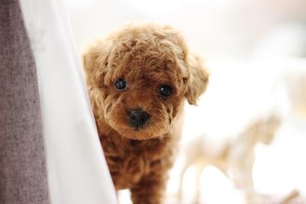 トイプードルの子犬(ID:1271011008)の5枚目の写真/更新日:2018-02-18