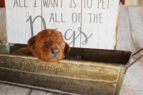 トイプードルの子犬(ID:1271011009)の1枚目の写真/更新日:2018-01-21