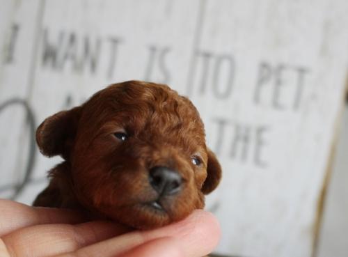 トイプードルの子犬(ID:1271011009)の2枚目の写真/更新日:2018-01-21