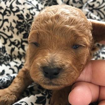 トイプードルの子犬(ID:1271011010)の1枚目の写真/更新日:2018-03-19