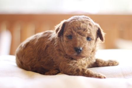 トイプードルの子犬(ID:1271011010)の2枚目の写真/更新日:2018-03-26