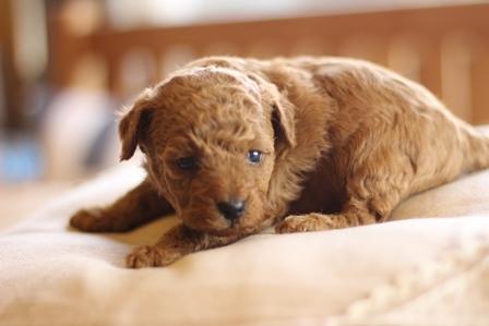 トイプードルの子犬(ID:1271011010)の3枚目の写真/更新日:2018-03-26