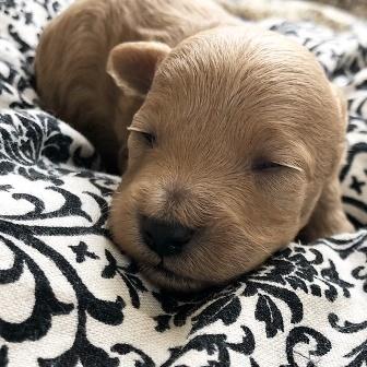 トイプードルの子犬(ID:1271011011)の1枚目の写真/更新日:2018-03-19