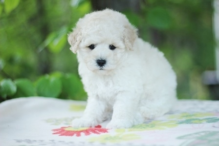 トイプードルの子犬(ID:1271011012)の1枚目の写真/更新日:2018-05-07