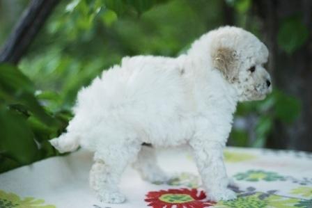 トイプードルの子犬(ID:1271011012)の2枚目の写真/更新日:2018-05-07