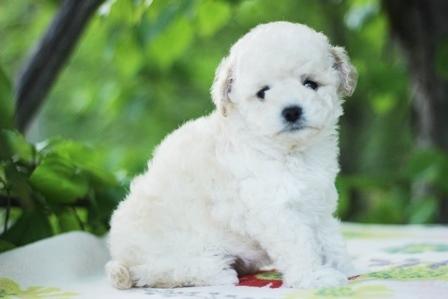 トイプードルの子犬(ID:1271011013)の2枚目の写真/更新日:2018-05-07