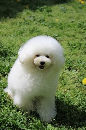 トイプードルの子犬(ID:1271011013)の4枚目の写真/更新日:2018-05-07
