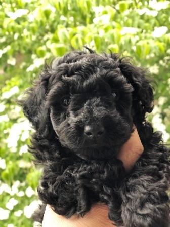 トイプードルの子犬(ID:1271011014)の2枚目の写真/更新日:2018-06-06