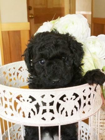 トイプードルの子犬(ID:1271011014)の3枚目の写真/更新日:2018-06-06