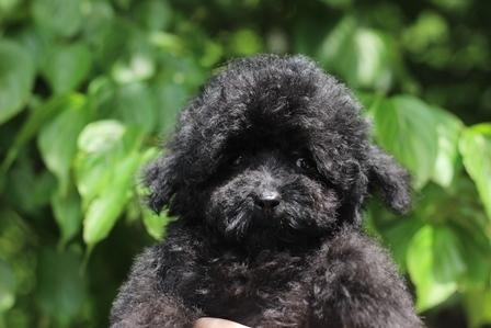 トイプードルの子犬(ID:1271011015)の1枚目の写真/更新日:2018-07-19