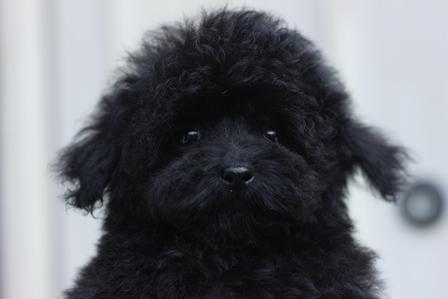 トイプードルの子犬(ID:1271011015)の2枚目の写真/更新日:2018-07-19