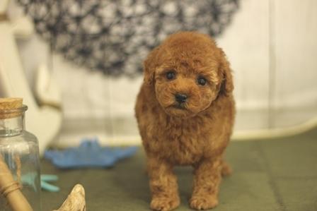 トイプードルの子犬(ID:1271011016)の1枚目の写真/更新日:2018-07-19