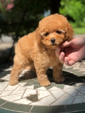 トイプードルの子犬(ID:1271011017)の3枚目の写真/更新日:2018-08-22