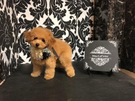 トイプードルの子犬(ID:1271011017)の4枚目の写真/更新日:2018-09-06
