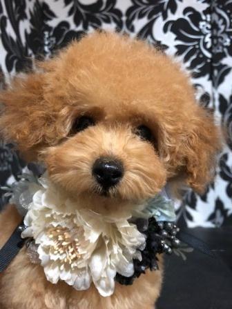 トイプードルの子犬(ID:1271011017)の5枚目の写真/更新日:2018-09-06