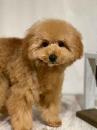 トイプードルの子犬(ID:1271011018)の1枚目の写真/更新日:2018-08-22