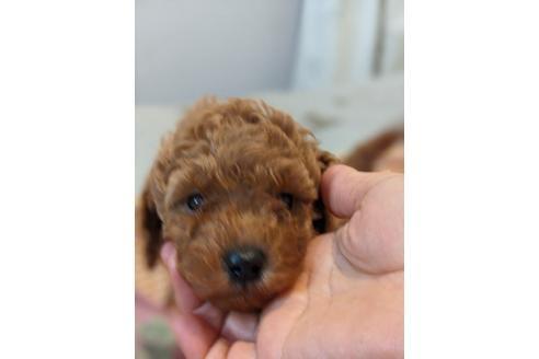 トイプードルの子犬(ID:1271111002)の1枚目の写真/更新日:2018-08-15