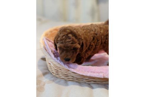 トイプードルの子犬(ID:1271111002)の2枚目の写真/更新日:2018-08-15