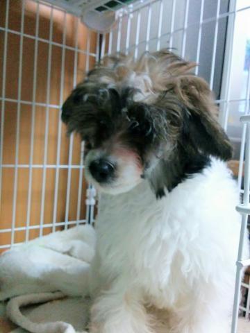 チャイニーズ・クレステッド・ドッグの子犬(ID:1271111008)の2枚目の写真/更新日:2018-01-12