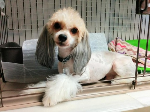 チャイニーズ・クレステッド・ドッグの子犬(ID:1271111008)の4枚目の写真/更新日:2018-01-12