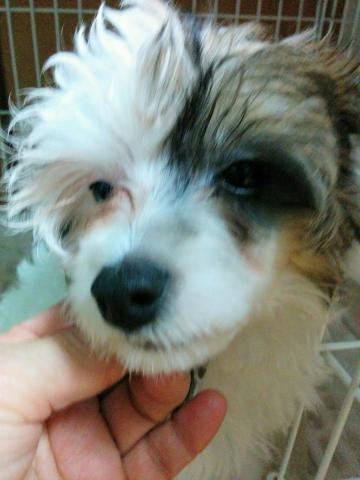 チャイニーズ・クレステッド・ドッグの子犬(ID:1271111009)の1枚目の写真/更新日:2018-01-12