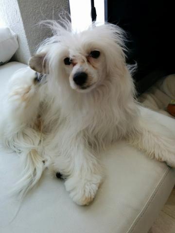 チャイニーズ・クレステッド・ドッグの子犬(ID:1271111009)の3枚目の写真/更新日:2018-01-12