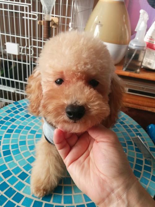 トイプードルの子犬(ID:1271111010)の1枚目の写真/更新日:2018-01-14