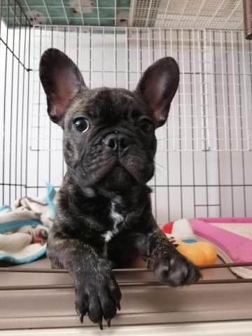 フレンチブルドッグの子犬(ID:1271111032)の1枚目の写真/更新日:2020-08-28