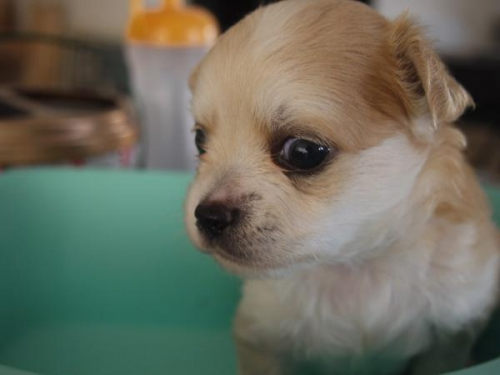 チワワ(ロング)の子犬(ID:1271211001)の1枚目の写真/更新日:2017-11-28