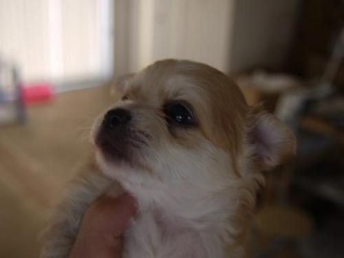 チワワ(ロング)の子犬(ID:1271211001)の2枚目の写真/更新日:2017-11-28