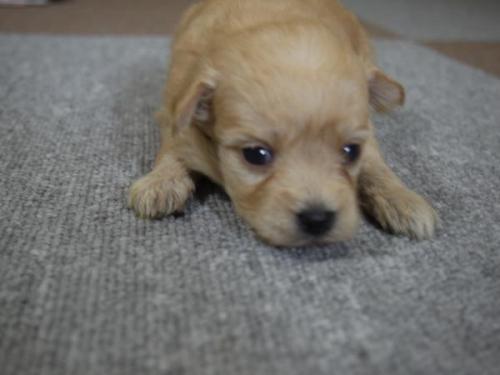 トイプードルの子犬(ID:1271211002)の1枚目の写真/更新日:2017-11-28