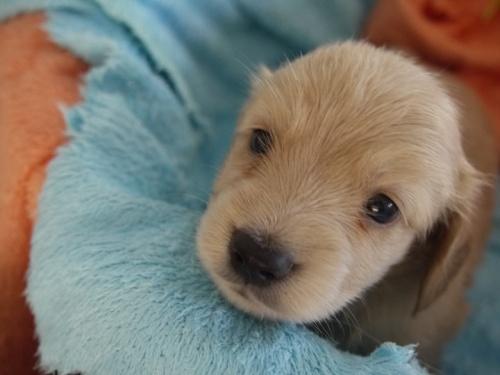 ミニチュアダックスフンド(ロング)の子犬(ID:1271211004)の1枚目の写真/更新日:2017-12-25