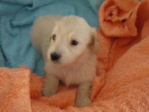 ミニチュアダックスフンド(ロング)の子犬(ID:1271211004)の2枚目の写真/更新日:2017-12-25