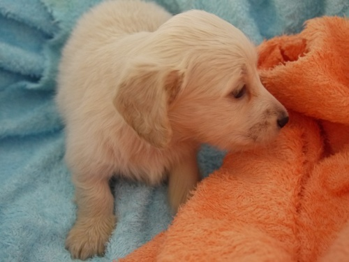 ミニチュアダックスフンド(ロング)の子犬(ID:1271211004)の3枚目の写真/更新日:2017-12-25