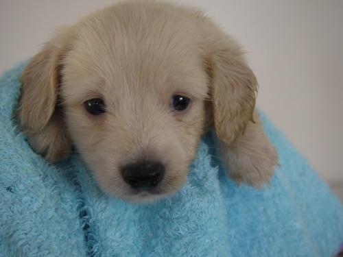 ミニチュアダックスフンド(ロング)の子犬(ID:1271211004)の4枚目の写真/更新日:2017-12-25
