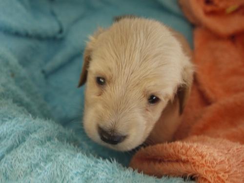 ミニチュアダックスフンド(ロング)の子犬(ID:1271211004)の5枚目の写真/更新日:2017-12-25