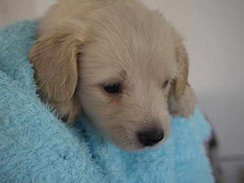 ミニチュアダックスフンド(ロング)の子犬(ID:1271211004)の6枚目の写真/更新日:2017-12-25