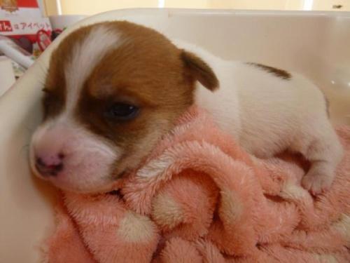 ジャックラッセルテリアの子犬(ID:1271211006)の1枚目の写真/更新日:2018-01-08