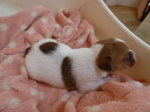 ジャックラッセルテリアの子犬(ID:1271211006)の3枚目の写真/更新日:2018-01-08