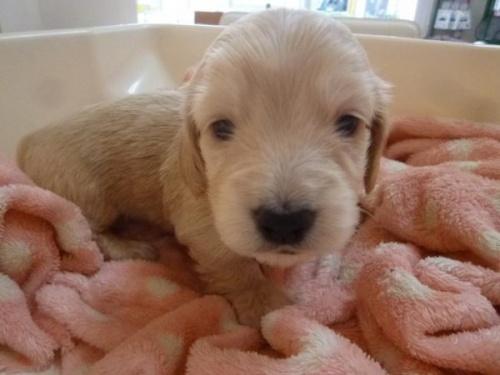 ミニチュアダックスフンド(ロング)の子犬(ID:1271211007)の1枚目の写真/更新日:2018-01-08