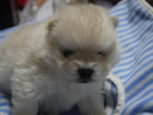 ポメラニアンの子犬(ID:1271211008)の1枚目の写真/更新日:2018-01-29